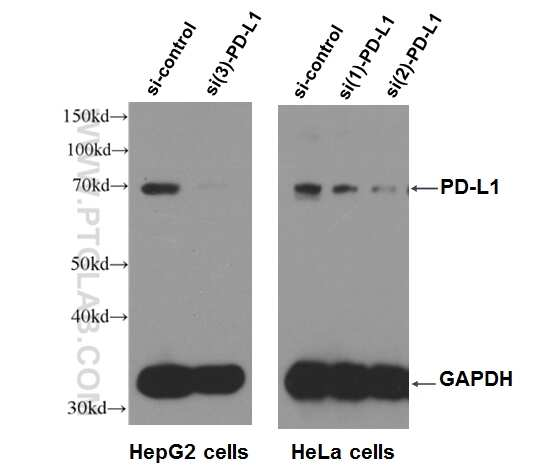 PD-L1/CD274 Antibody in Western Blot (WB)