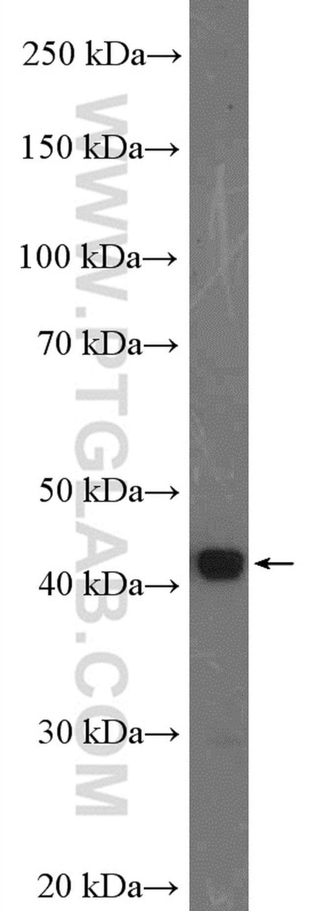 FUT1 Antibody in Western Blot (WB)