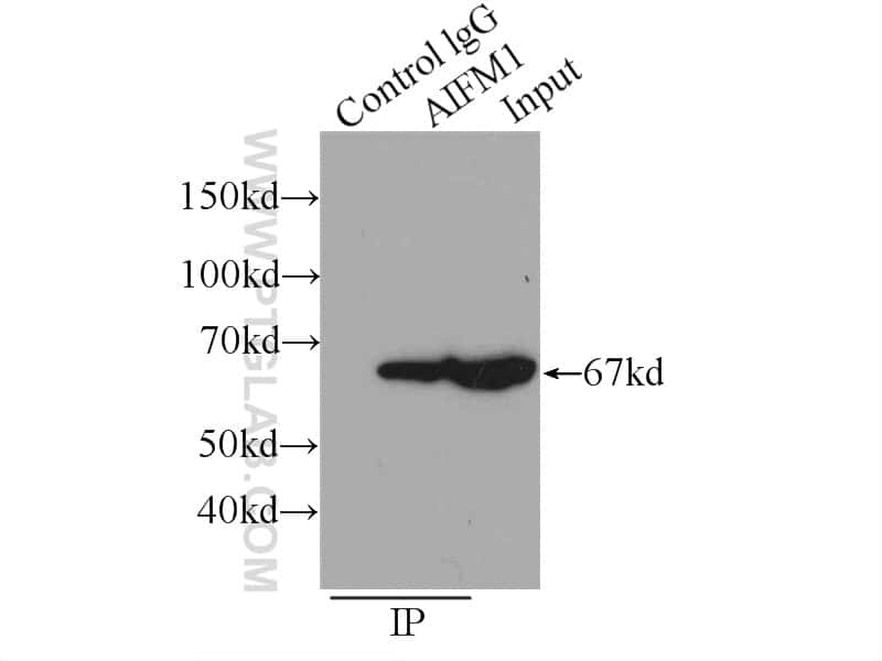 AIF Antibody in Immunoprecipitation (IP)