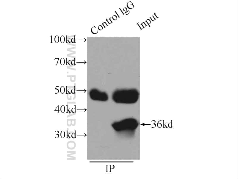 CCNY Antibody in Immunoprecipitation (IP)