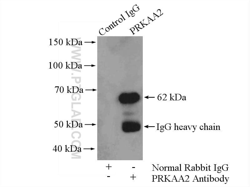 AMPK alpha 2 Antibody in Immunoprecipitation (IP)