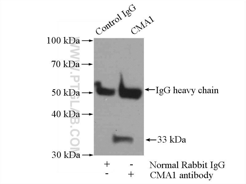 Mast Cell Chymase Antibody in Immunoprecipitation (IP)
