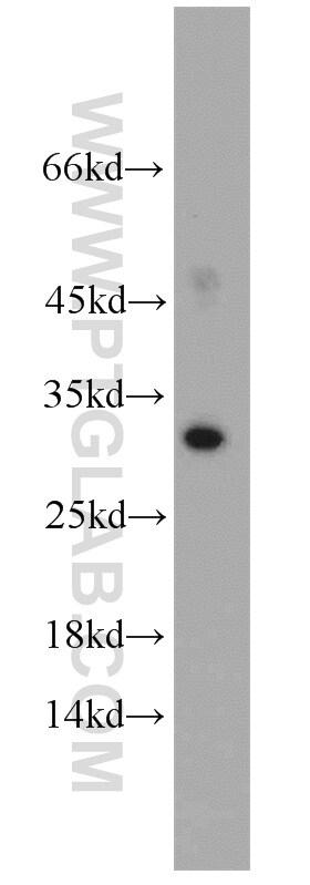 Mast Cell Chymase Antibody in Western Blot (WB)