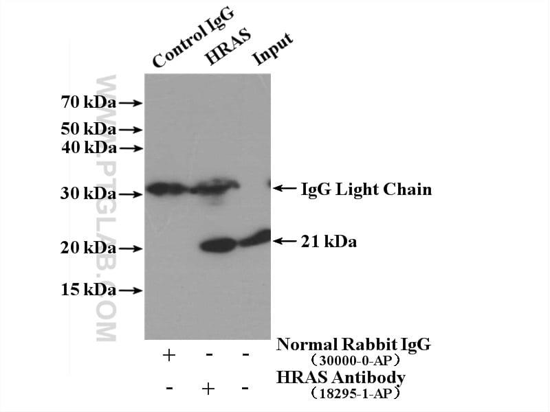 HRAS Antibody in Immunoprecipitation (IP)
