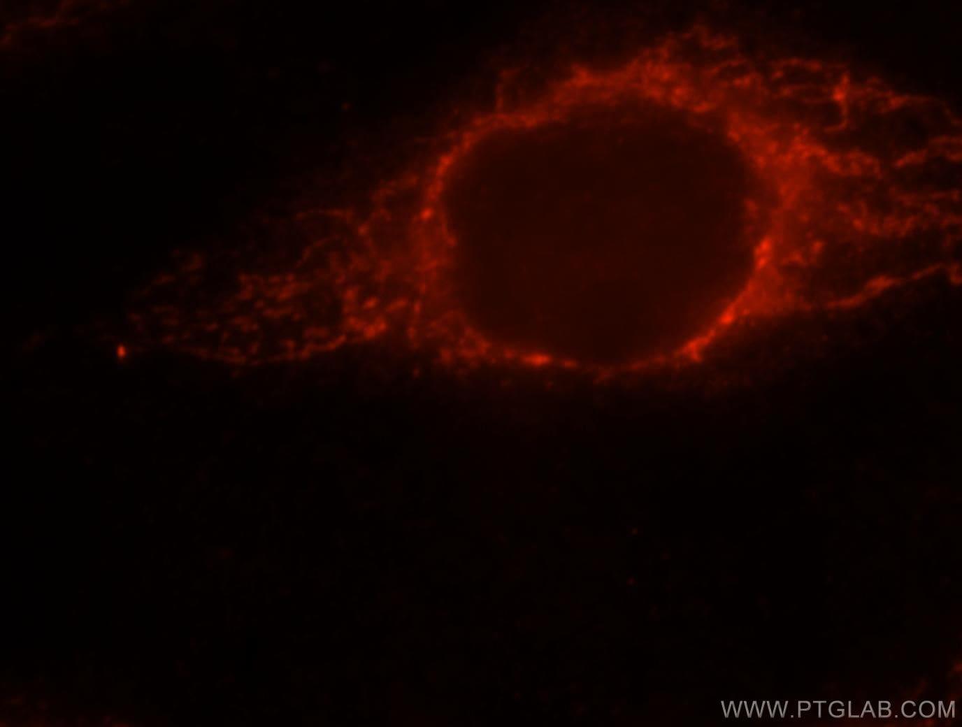 PPIF Antibody in Immunofluorescence (IF)