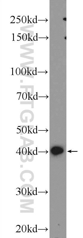 IGFBP4 Antibody in Western Blot (WB)