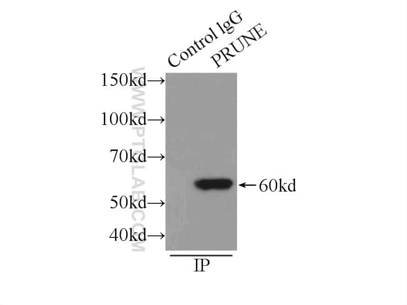 PRUNE Antibody in Immunoprecipitation (IP)