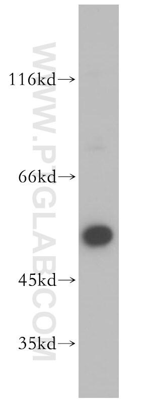 BRK Antibody in Western Blot (WB)