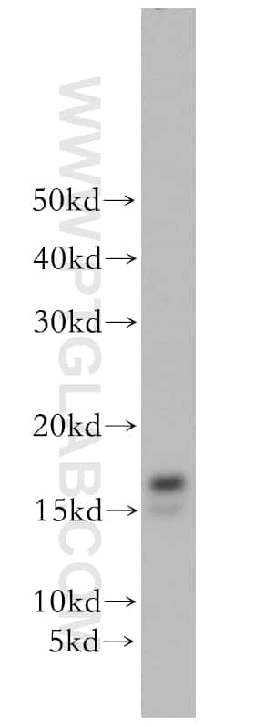 GABARAPL1 Antibody in Western Blot (WB)