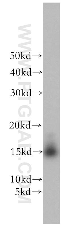 GABARAP Antibody in Western Blot (WB)