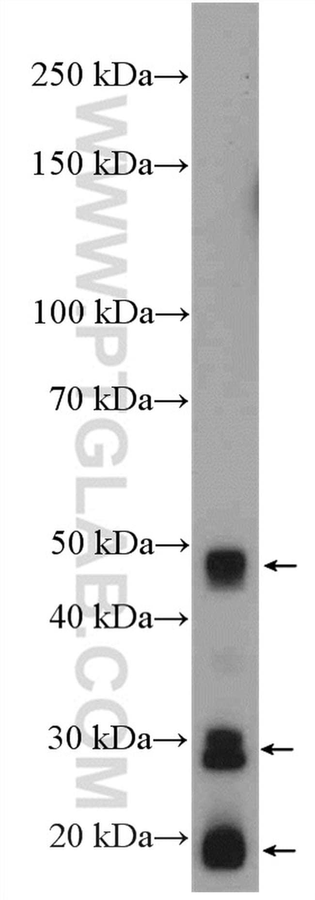 BMP2 Antibody in Western Blot (WB)