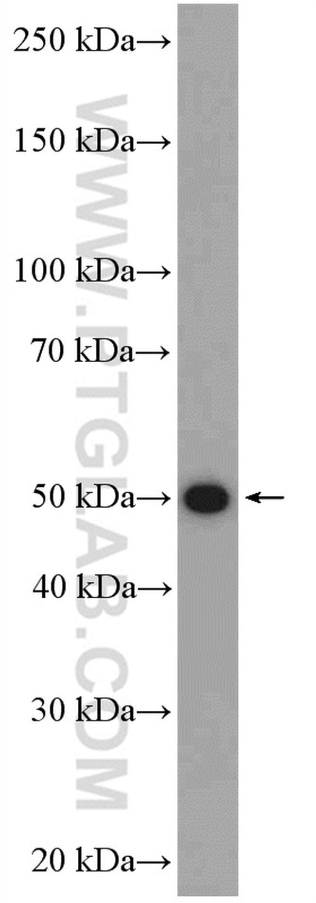 BMP15 Antibody in Western Blot (WB)