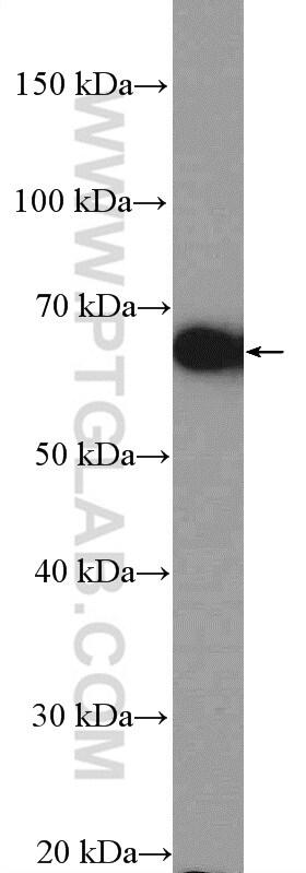 POU3F3 Antibody in Western Blot (WB)