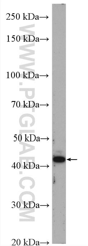 VEGF Antibody in Western Blot (WB)