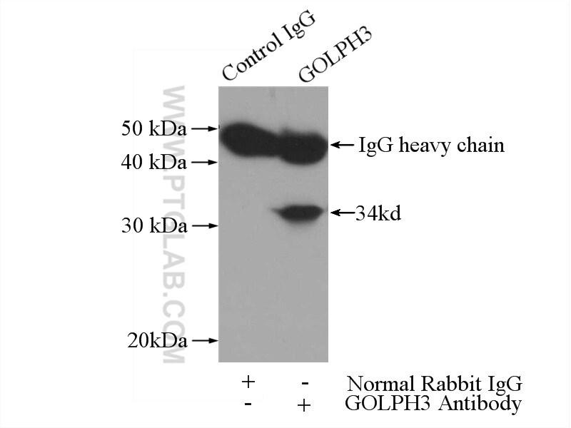 GOLPH3 Antibody in Immunoprecipitation (IP)