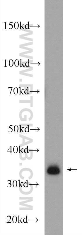 GOLPH3 Antibody in Western Blot (WB)