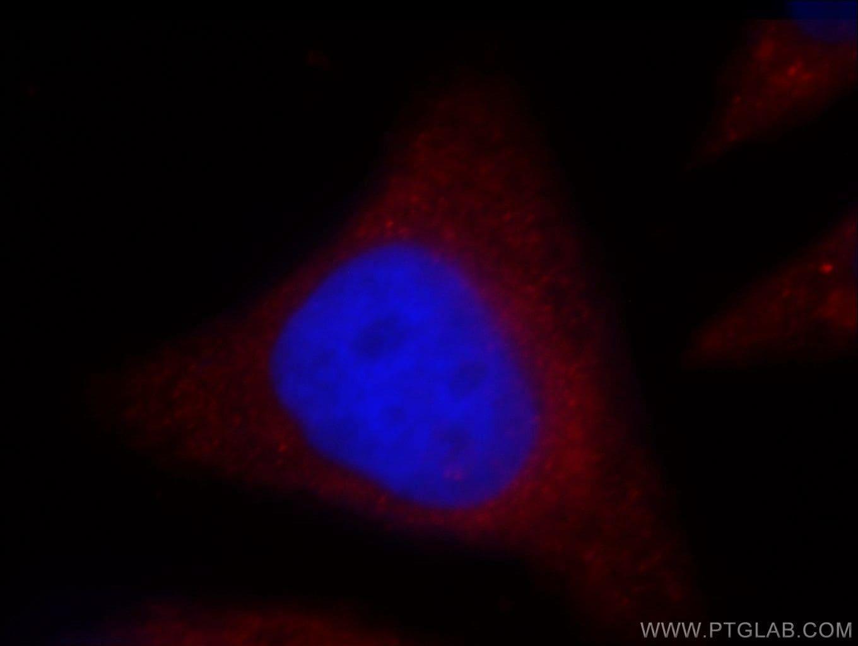 OAS2 Antibody in Immunofluorescence (IF)