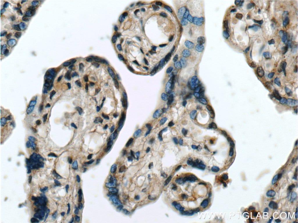 NPFFR2 Antibody in Immunohistochemistry (Paraffin) (IHC (P))