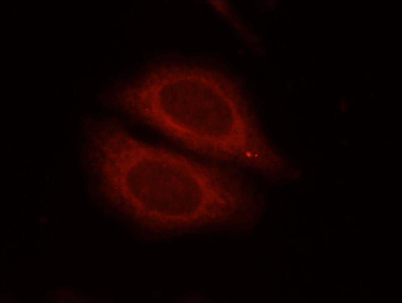 EIF2C1 Antibody in Immunofluorescence (IF)