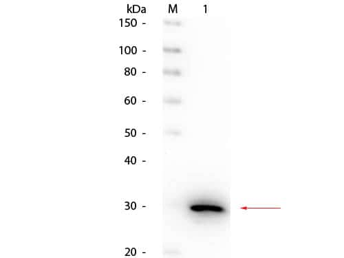 Carbonic Anhydrase II Antibody in Western Blot (WB)