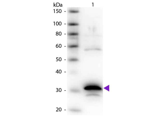Carboxypeptidase A Antibody in Western Blot (WB)