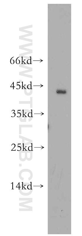 CD134/OX40 Antibody in Western Blot (WB)