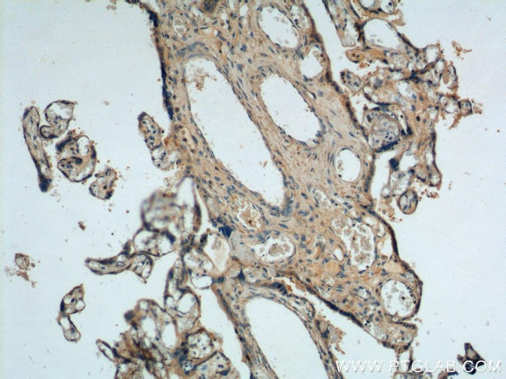 fibrillin 2 Antibody in Immunohistochemistry (Paraffin) (IHC (P))