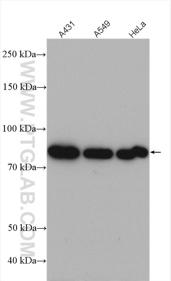 FGD3 Antibody in Western Blot (WB)