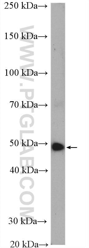 LIS1 Antibody in Western Blot (WB)
