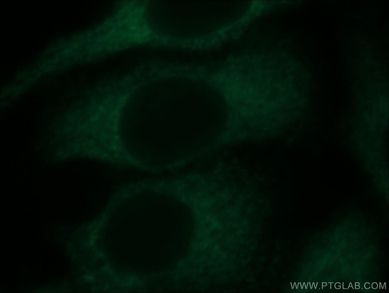 ZNF622 Antibody in Immunofluorescence (IF)