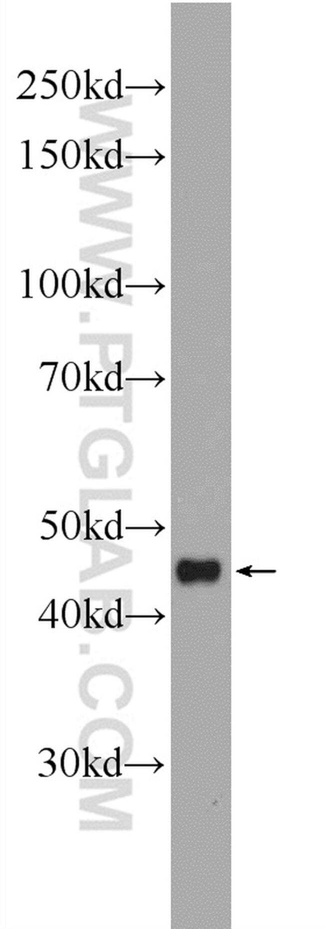IL-10 Antibody in Western Blot (WB)