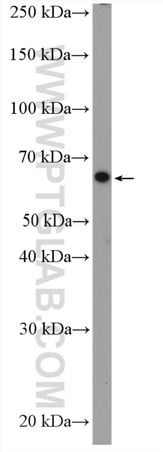 LIPC Antibody in Western Blot (WB)