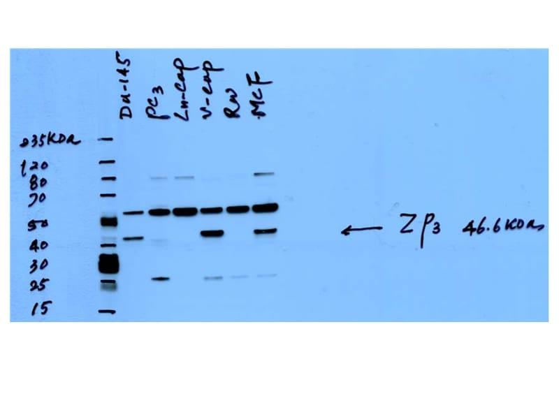 ZP3 Antibody in Western Blot (WB)
