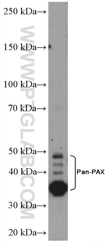 Pan-PAX Antibody in Western Blot (WB)