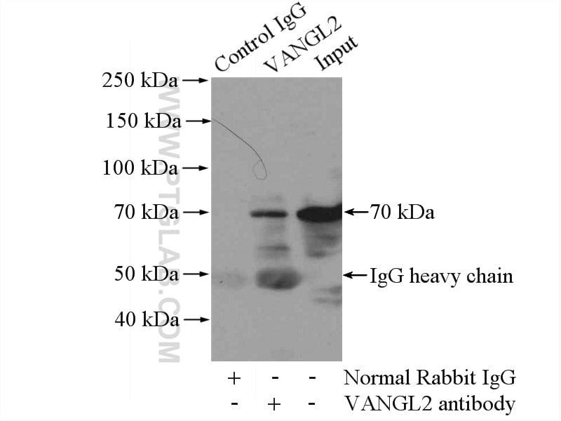 VANGL2 Antibody in Immunoprecipitation (IP)
