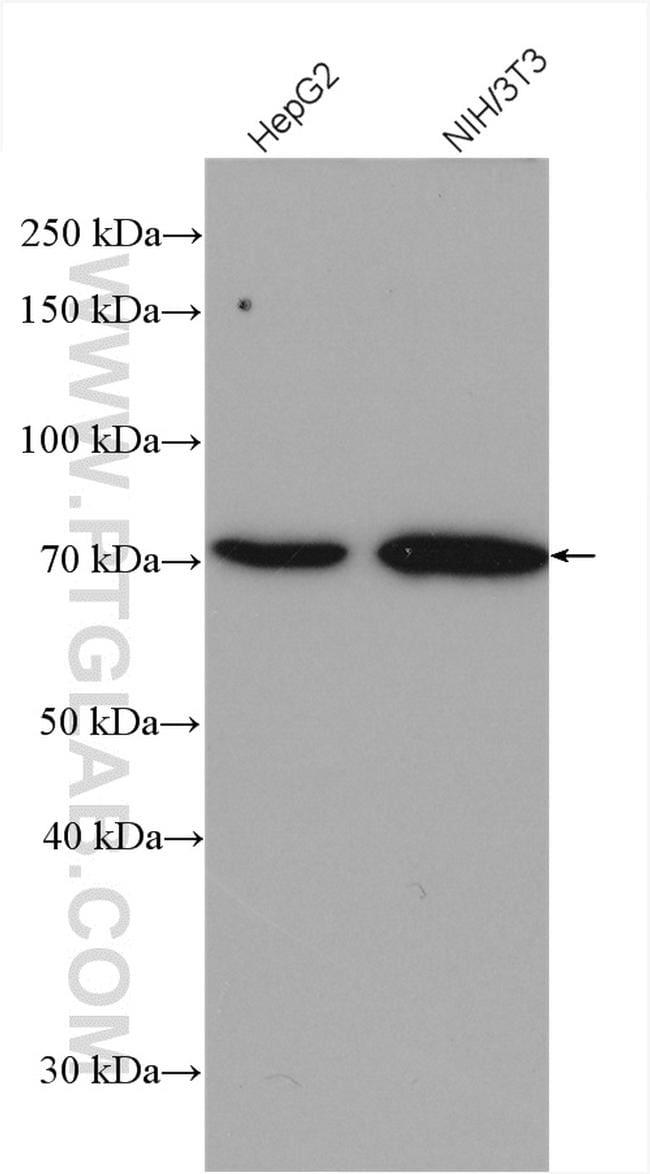 VANGL2 Antibody in Western Blot (WB)