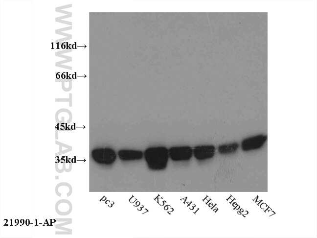 Annexin A1 Antibody in Western Blot (WB)