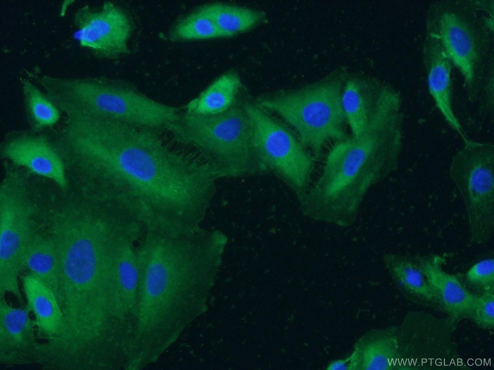 Integrin alpha-3 Antibody in Immunofluorescence (IF)