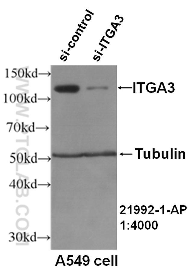 Integrin alpha-3 Antibody in Western Blot (WB)