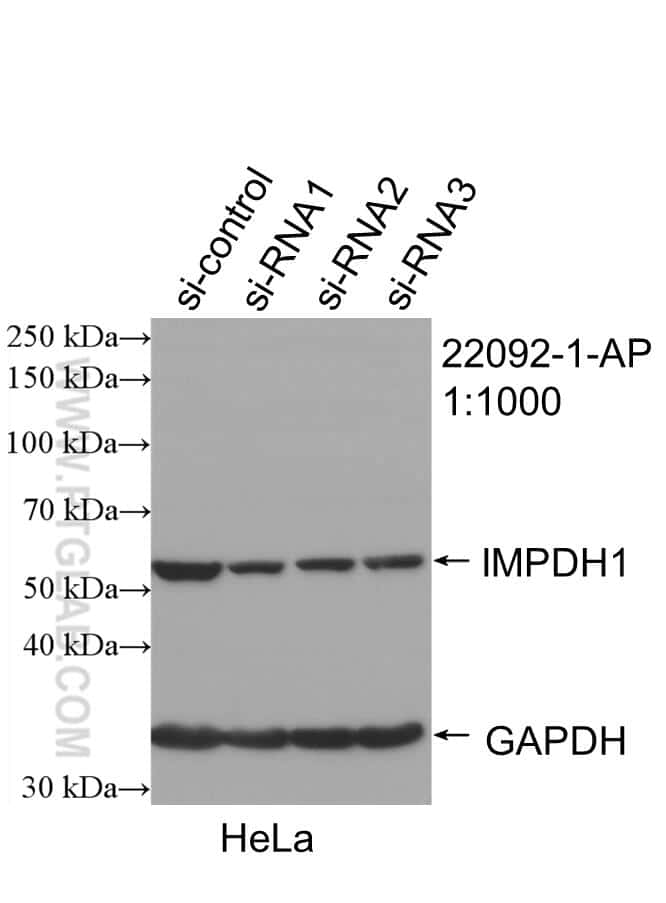 IMPDH1 Antibody in Western Blot (WB)