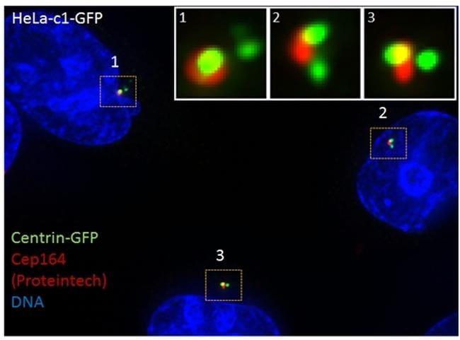 CEP164 Antibody in Immunofluorescence (IF)