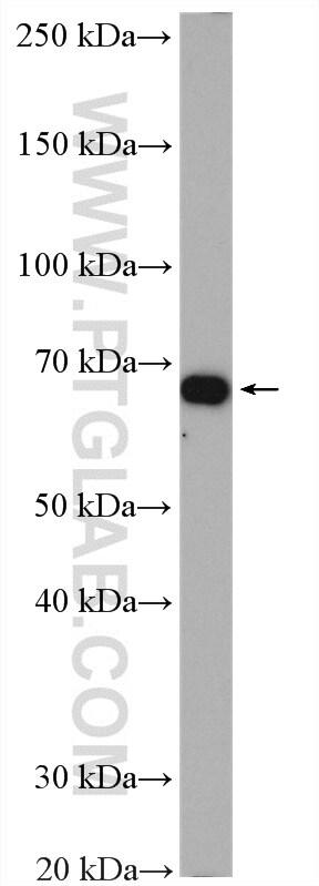 ATP1B2 Antibody in Western Blot (WB)