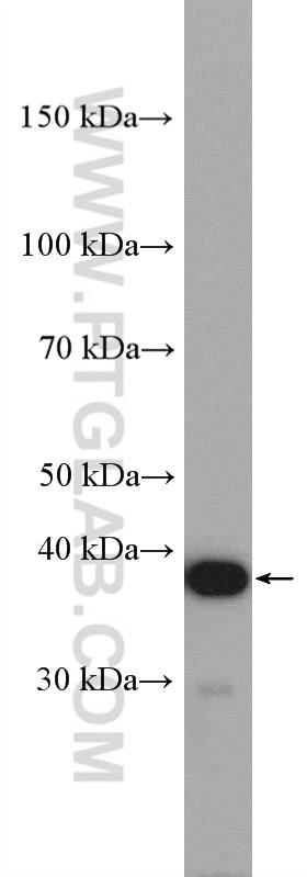 C4orf49 Antibody in Western Blot (WB)