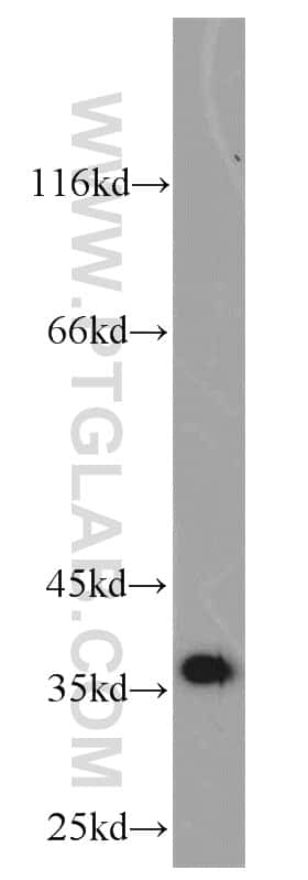 MGME1 Antibody in Western Blot (WB)