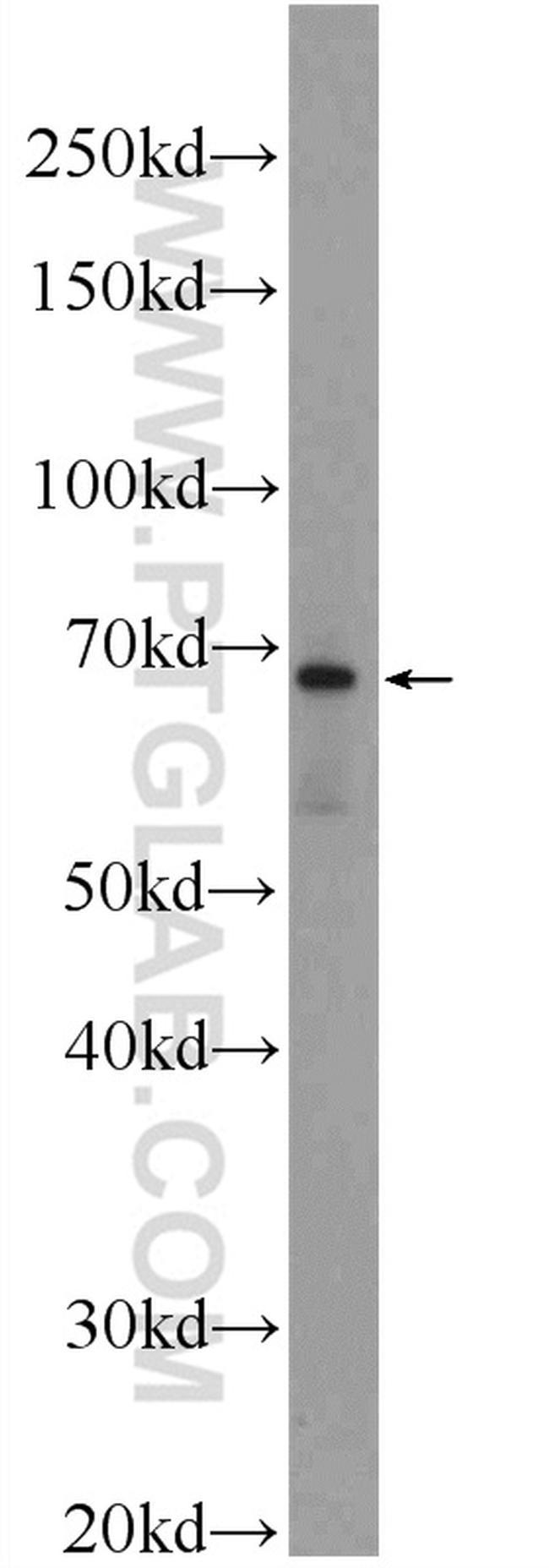 LARGE Antibody in Western Blot (WB)