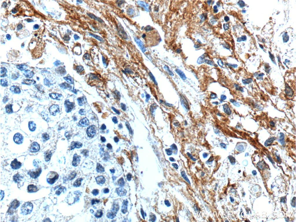 EMILIN2 Antibody in Immunohistochemistry (Paraffin) (IHC (P))