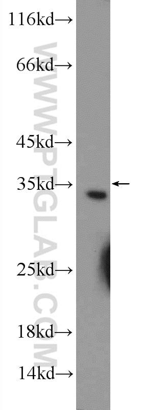 CWC15 Antibody in Western Blot (WB)