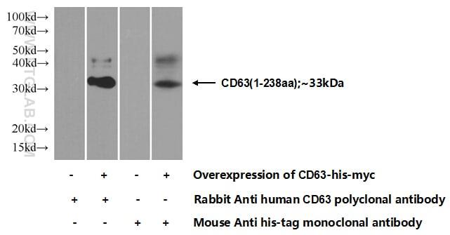 CD63 Antibody in Western Blot (WB)