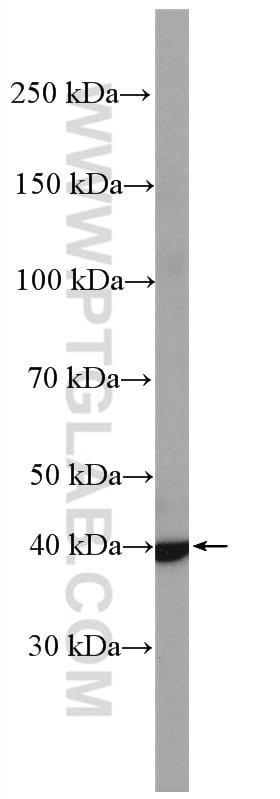 CCR7 Antibody in Western Blot (WB)
