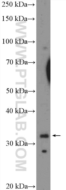 XBP1 Antibody in Western Blot (WB)